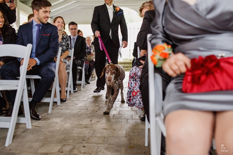A German short haired pointer acts as a ring bearer at a Waterstone Estate and Farms Fall wedding in Newmarket, Ontario.